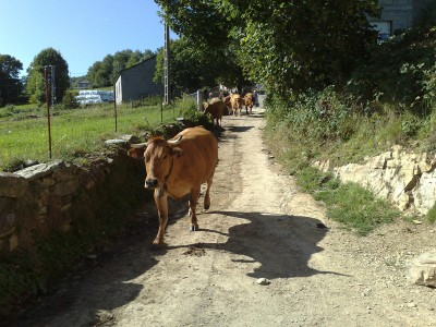 Jönnek a tehenek