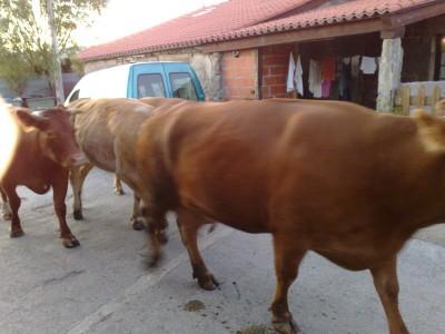 Több tehén San Xulian